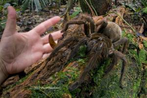 Terrifying Puppy-sized Spider with Venom-filled Fangs Found in the Rainforest