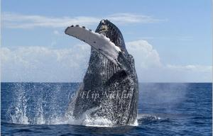 Save the Date for WHALE TAILS 2015 in Maui