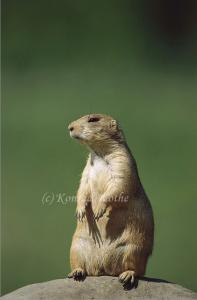 Save the Wyoming Prairie Dogs