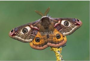National Moth Week ends July 27