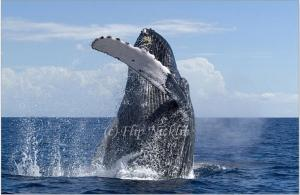Humpback Whales in the Monterey Bay