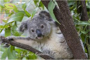 KOALA HOSPITAL by Suzi Eszterhas selected by Junior Library Guild