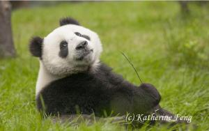 GOOD NEWS The IUCN upgraded the Giant Panda