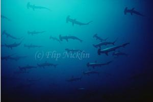 Scalloped Hammerheads Receive Proctection